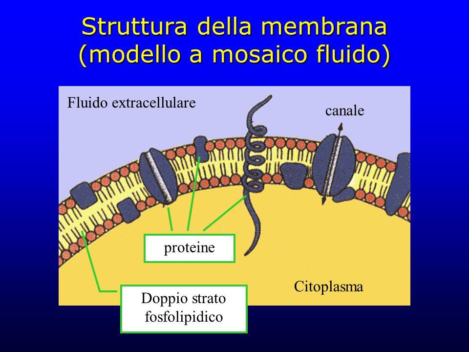 Struttura della membrana (modello a mosaico fluido)