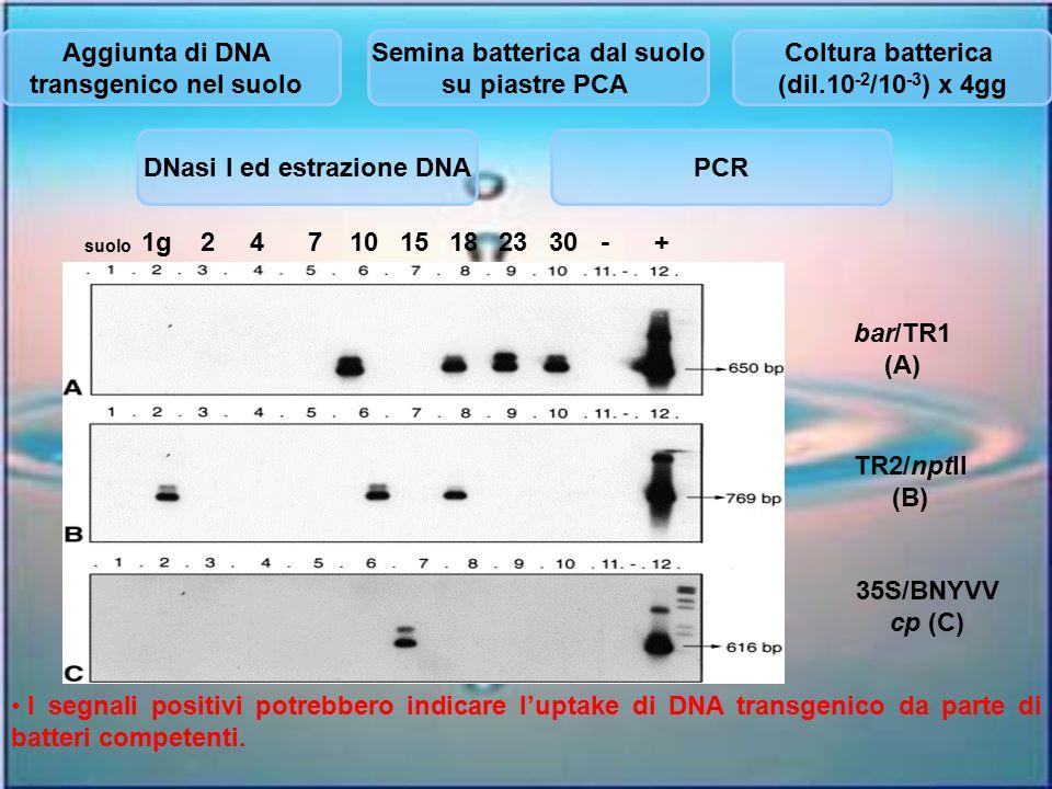 Semina batterica dal suolo DNasi I ed estrazione DNA