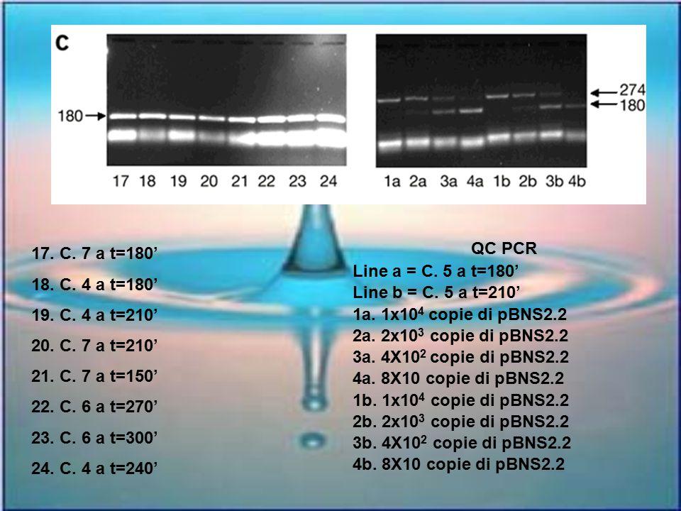 QC PCR Line a = C. 5 a t=180' Line b = C. 5 a t=210' 1a. 1x104 copie di pBNS2.2. 2a. 2x103 copie di pBNS2.2.