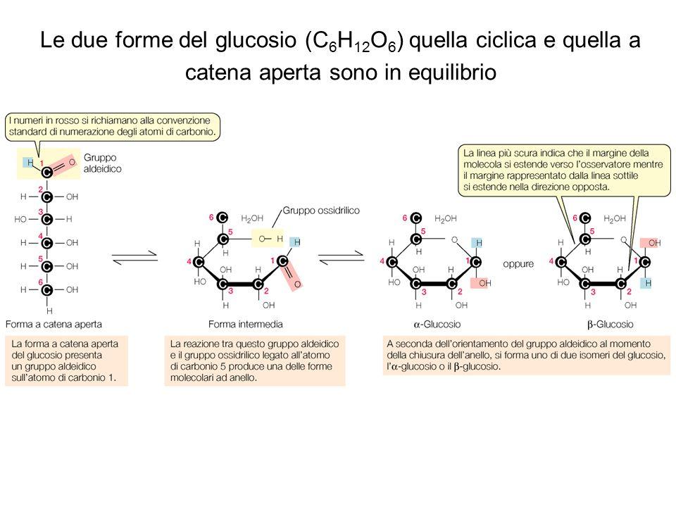 Le due forme del glucosio (C6H12O6) quella ciclica e quella a catena aperta sono in equilibrio