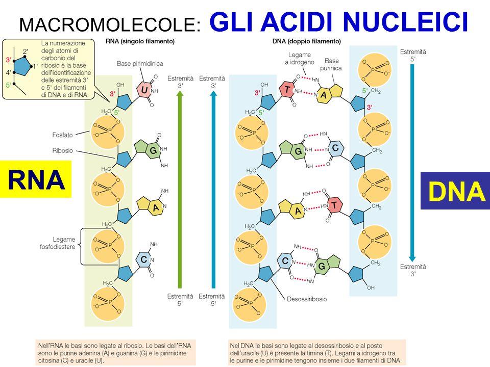MACROMOLECOLE: GLI ACIDI NUCLEICI