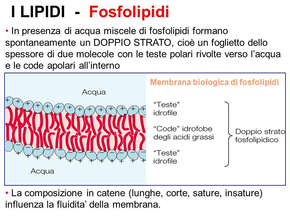 Membrana biologica di fosfolipidi