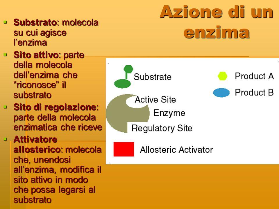 Azione di un enzima Substrato: molecola su cui agisce l'enzima