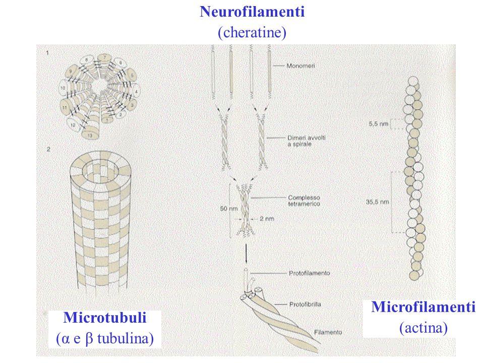 Neurofilamenti (cheratine) Microfilamenti (actina) Microtubuli (α e β tubulina)