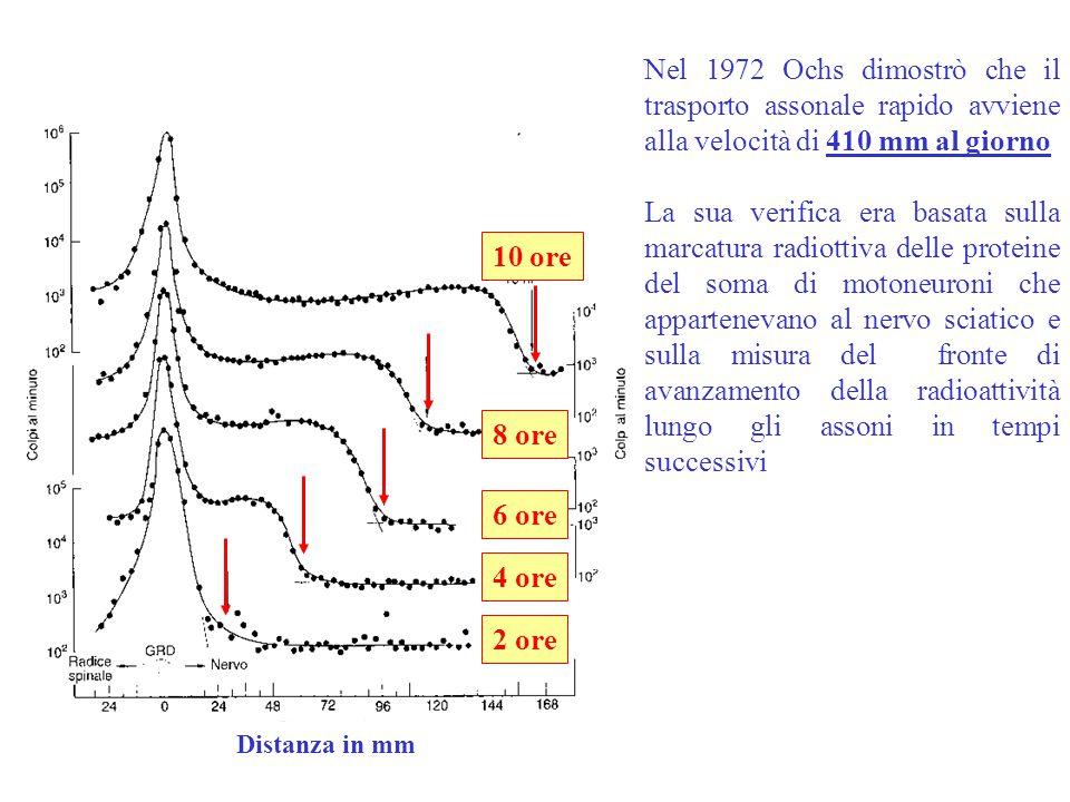 Nel 1972 Ochs dimostrò che il trasporto assonale rapido avviene alla velocità di 410 mm al giorno