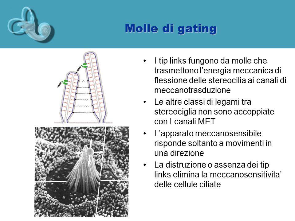 Molle di gating I tip links fungono da molle che trasmettono l'energia meccanica di flessione delle stereocilia ai canali di meccanotrasduzione.