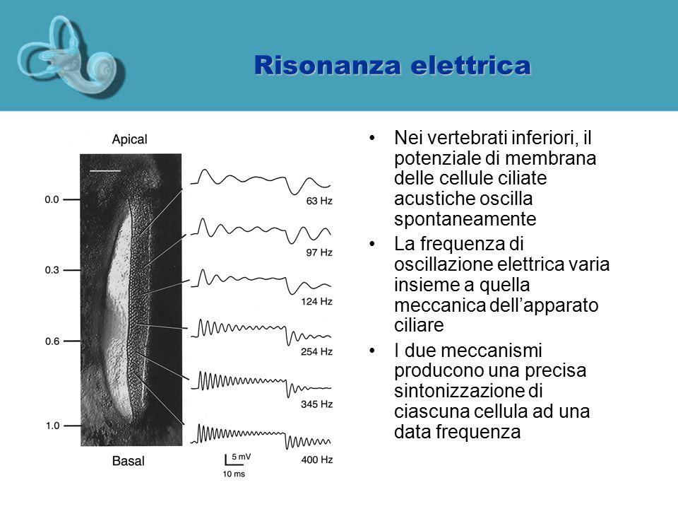 Risonanza elettrica Nei vertebrati inferiori, il potenziale di membrana delle cellule ciliate acustiche oscilla spontaneamente.