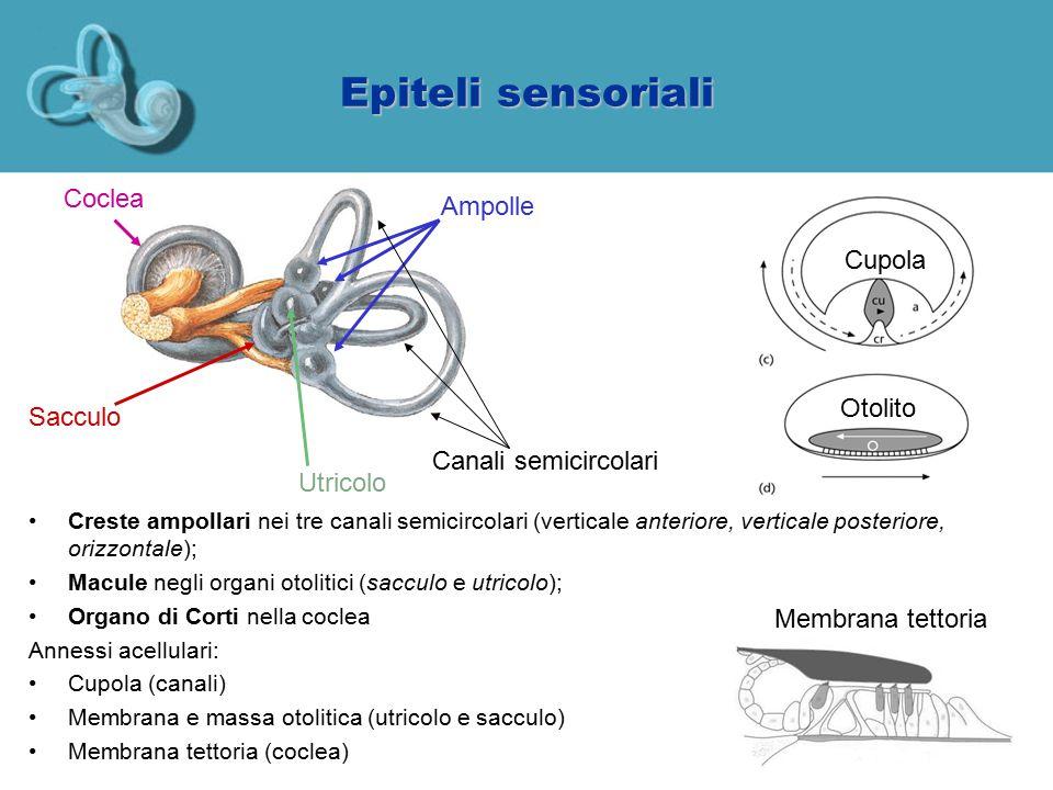 Epiteli sensoriali Coclea Ampolle Cupola Otolito Sacculo