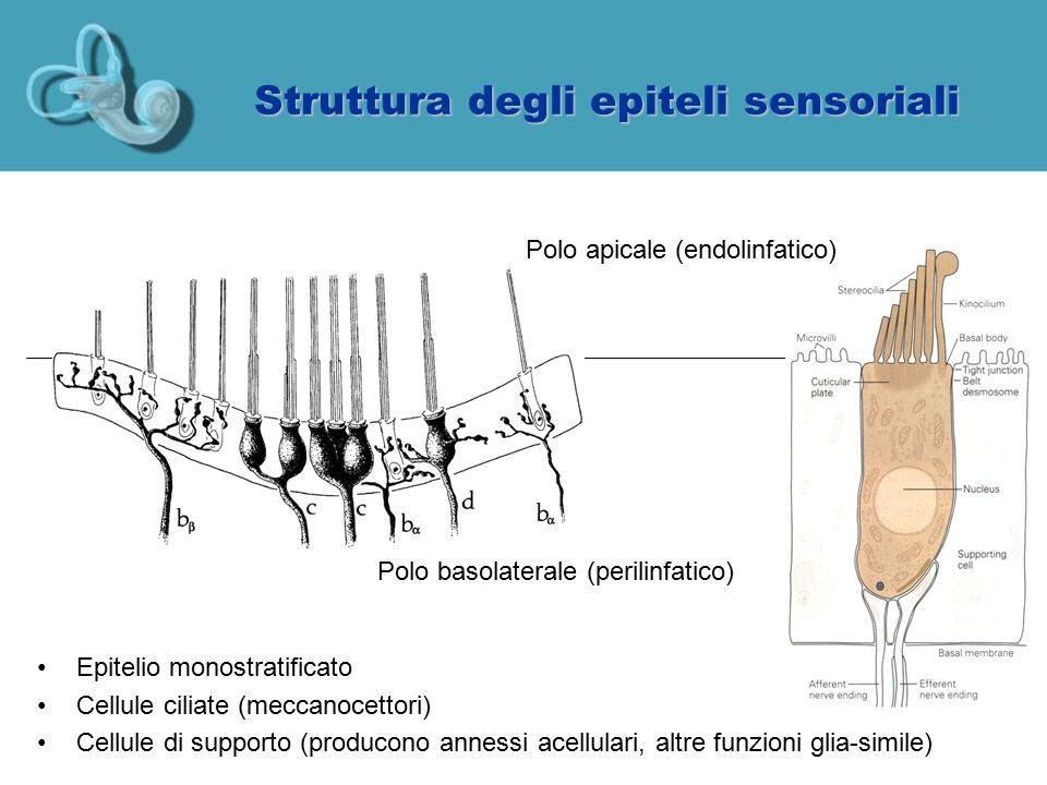 Struttura degli epiteli sensoriali