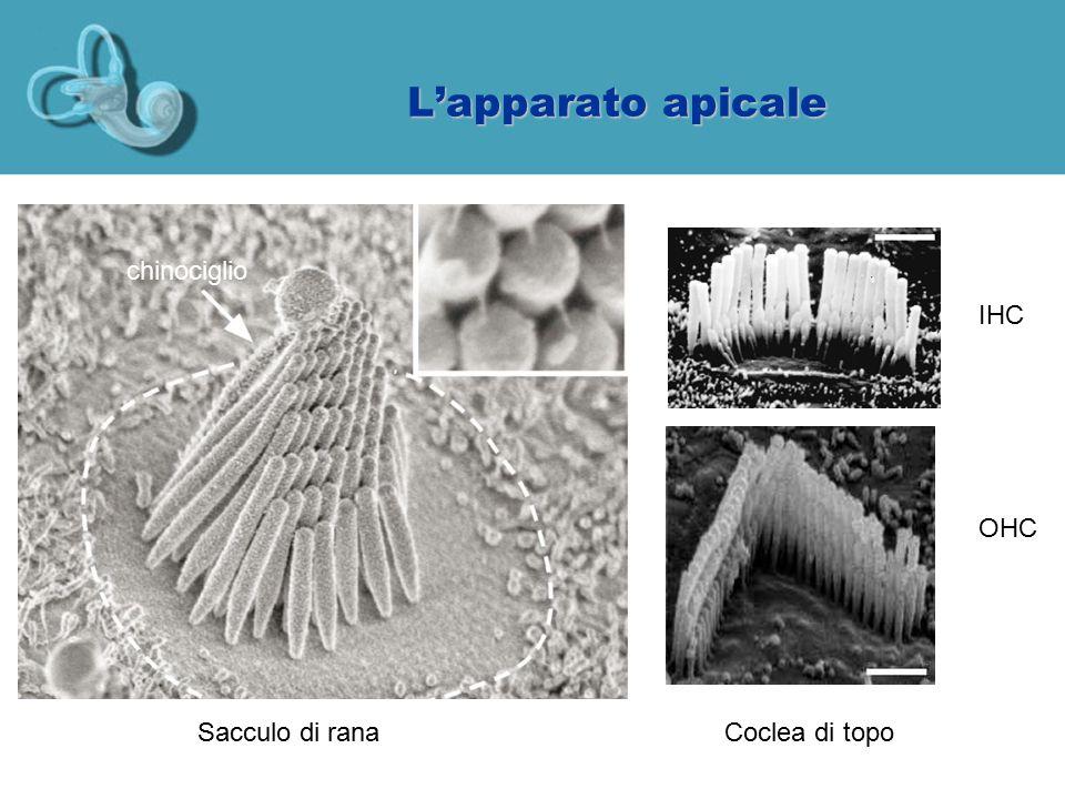 L'apparato apicale chinociglio IHC OHC Sacculo di rana Coclea di topo