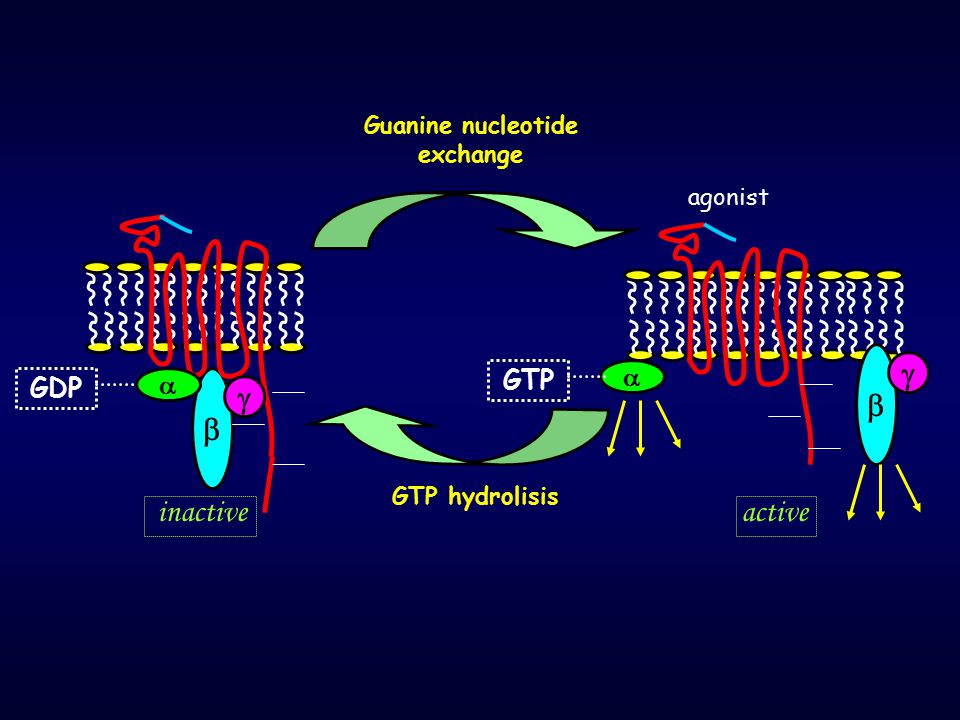     inactive active GTP  GDP  Guanine nucleotide exchange