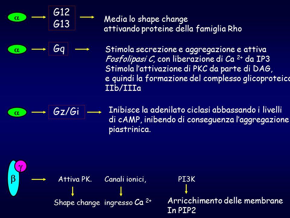 G12 G13 Gq Gz/Gi    Media lo shape change