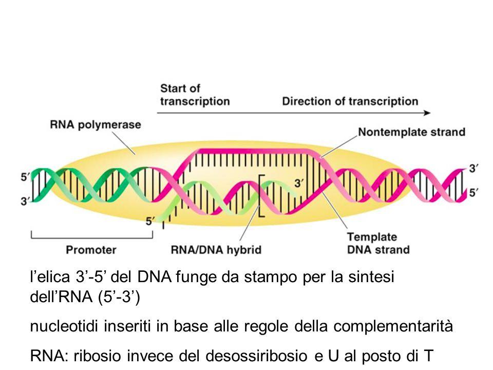 l'elica 3'-5' del DNA funge da stampo per la sintesi dell'RNA (5'-3')