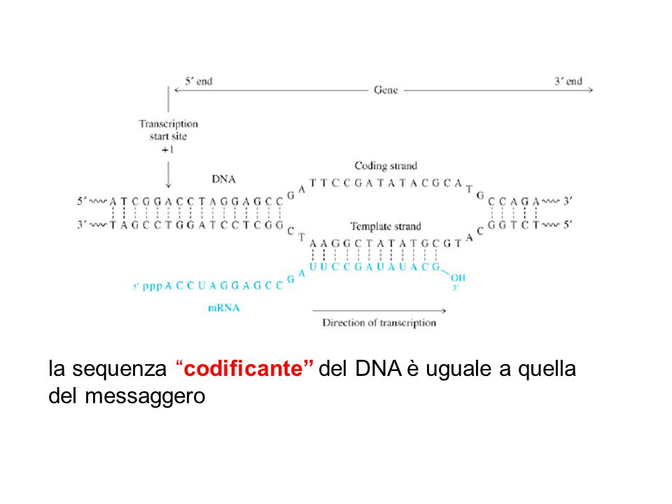 la sequenza codificante del DNA è uguale a quella del messaggero