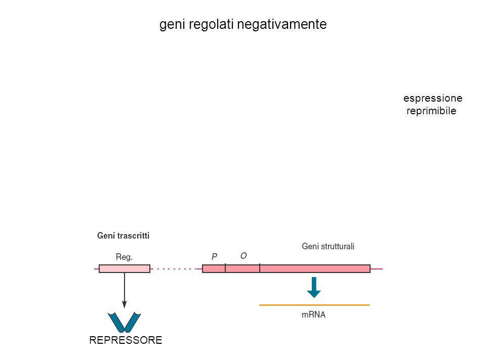 geni regolati negativamente