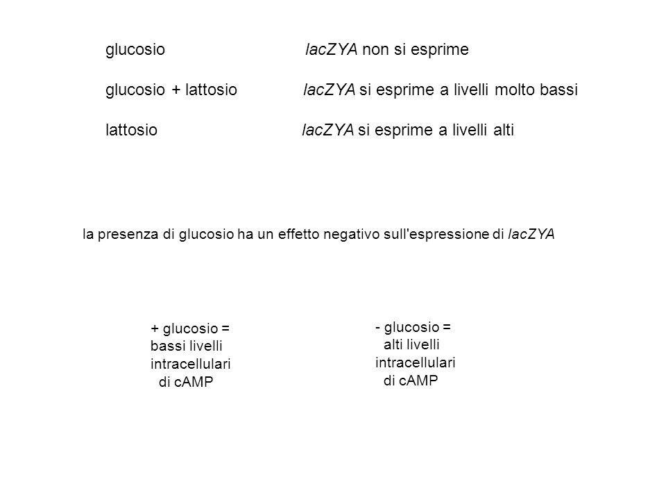 glucosio lacZYA non si esprime