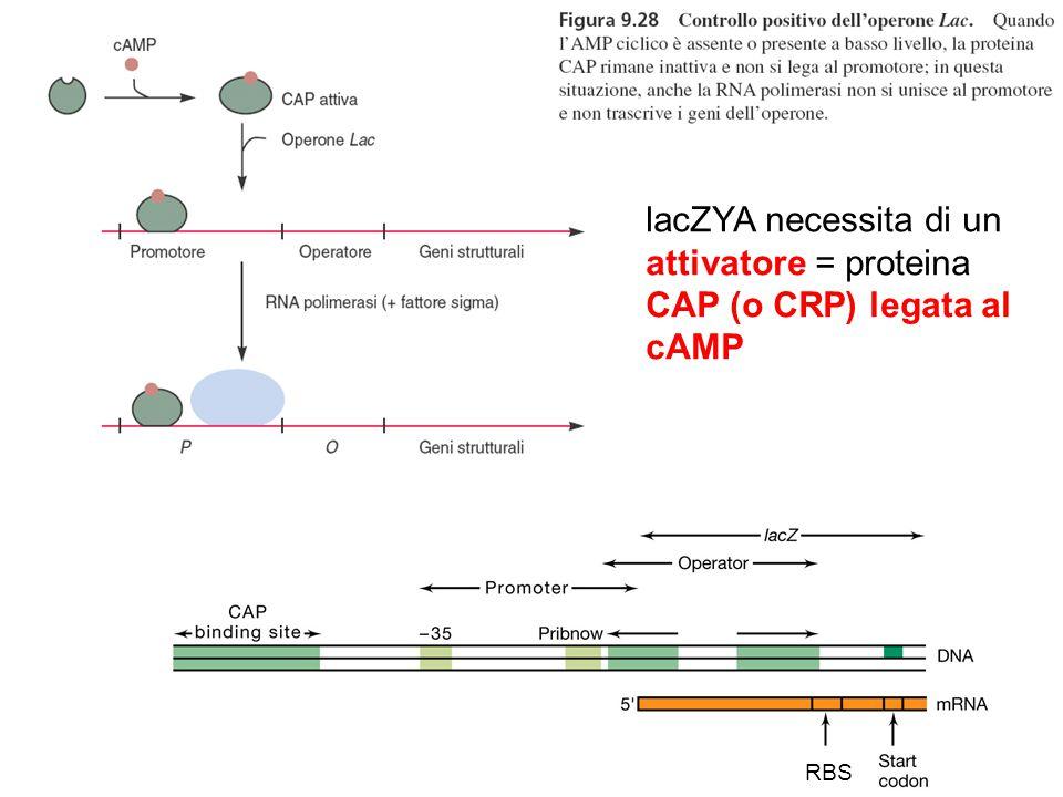 lacZYA necessita di un attivatore = proteina CAP (o CRP) legata al cAMP
