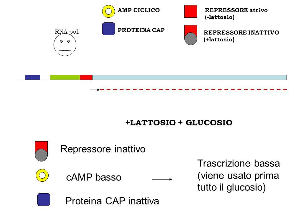 Trascrizione bassa (viene usato prima tutto il glucosio) cAMP basso