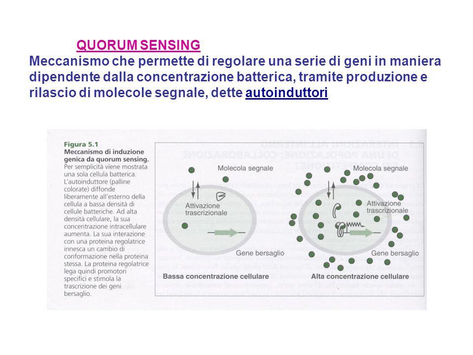 QUORUM SENSING Meccanismo che permette di regolare una serie di geni in maniera dipendente dalla concentrazione batterica, tramite produzione e rilascio di molecole segnale, dette autoinduttori
