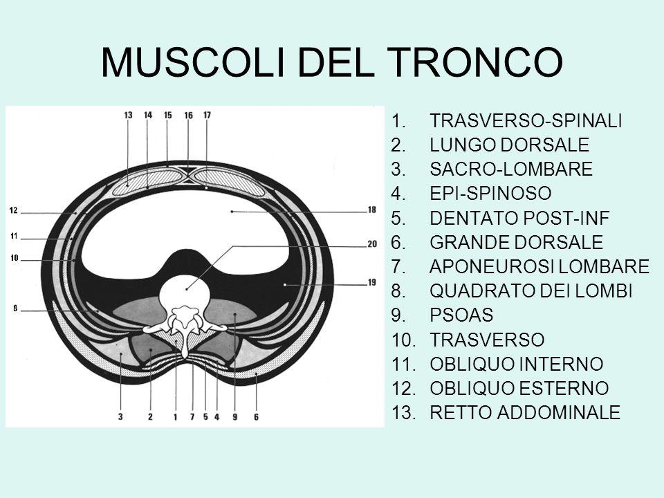MUSCOLI DEL TRONCO TRASVERSO-SPINALI LUNGO DORSALE SACRO-LOMBARE