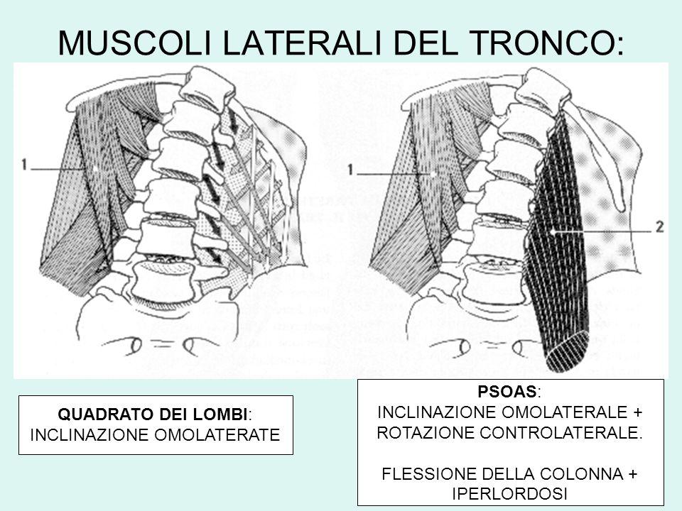 MUSCOLI LATERALI DEL TRONCO: