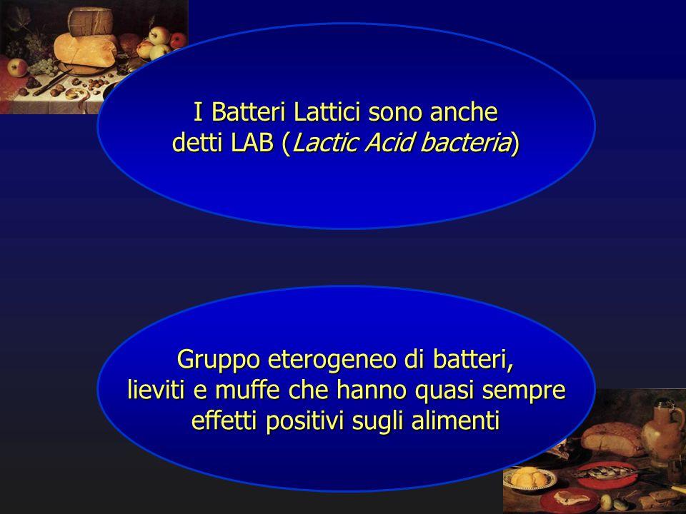 I Batteri Lattici sono anche detti LAB (Lactic Acid bacteria)