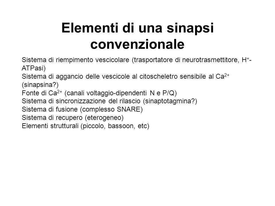 Elementi di una sinapsi convenzionale