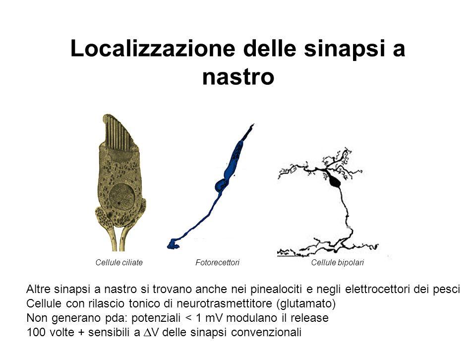Localizzazione delle sinapsi a nastro
