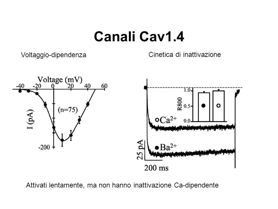 Canali Cav1.4 Voltaggio-dipendenza Cinetica di inattivazione
