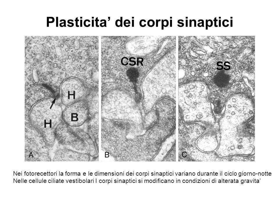 Plasticita' dei corpi sinaptici