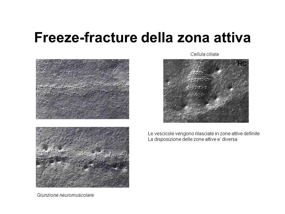 Freeze-fracture della zona attiva