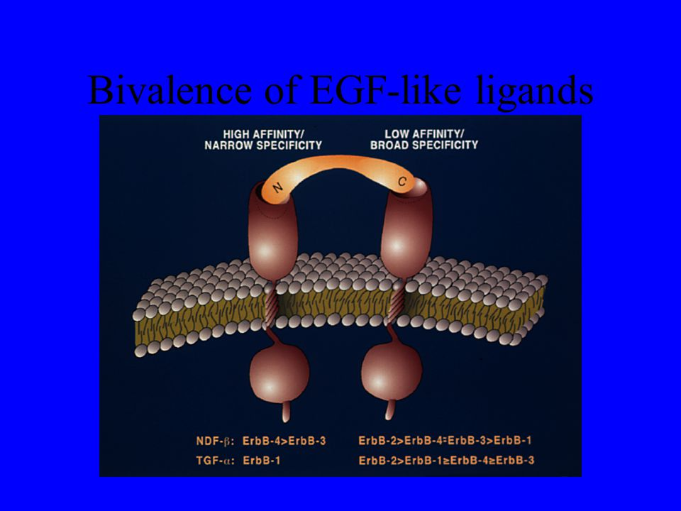 Bivalence of EGF-like ligands