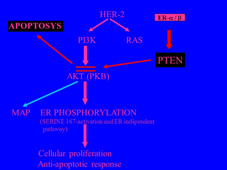 PTEN HER-2 APOPTOSYS MAP ER PHOSPHORYLATION Anti-apoptotic response