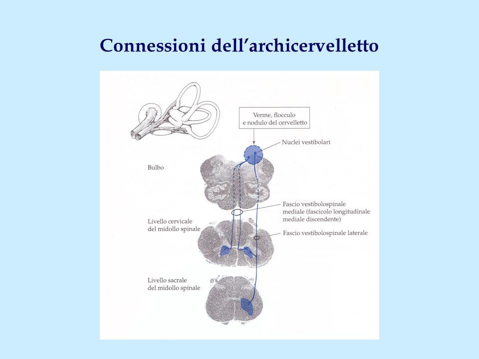 Connessioni dell'archicervelletto