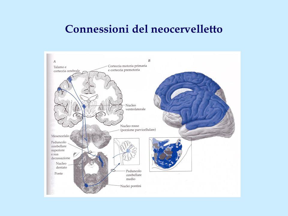 Connessioni del neocervelletto