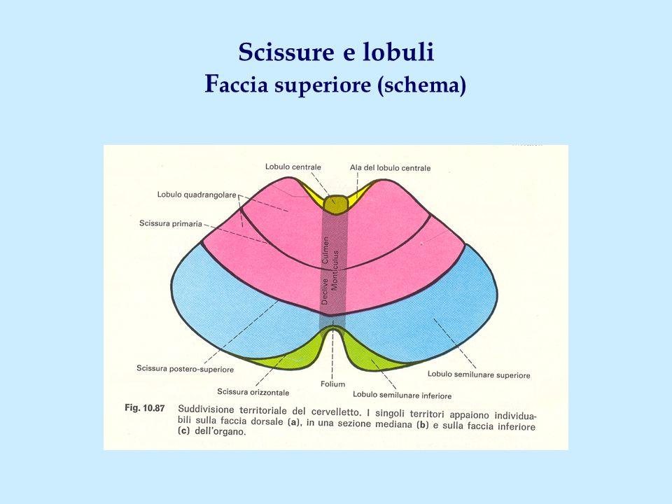 Scissure e lobuli Faccia superiore (schema)