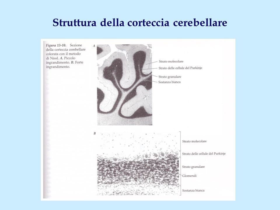 Struttura della corteccia cerebellare