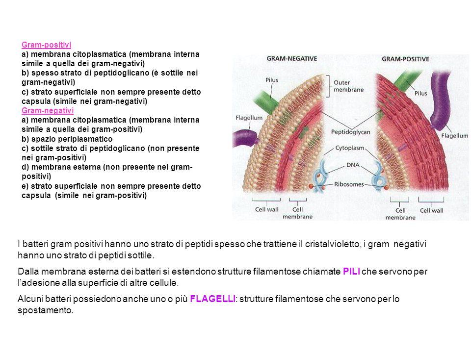 Gram-positivi a) membrana citoplasmatica (membrana interna simile a quella dei gram-negativi)