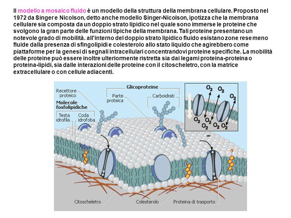 Il modello a mosaico fluido è un modello della struttura della membrana cellulare.
