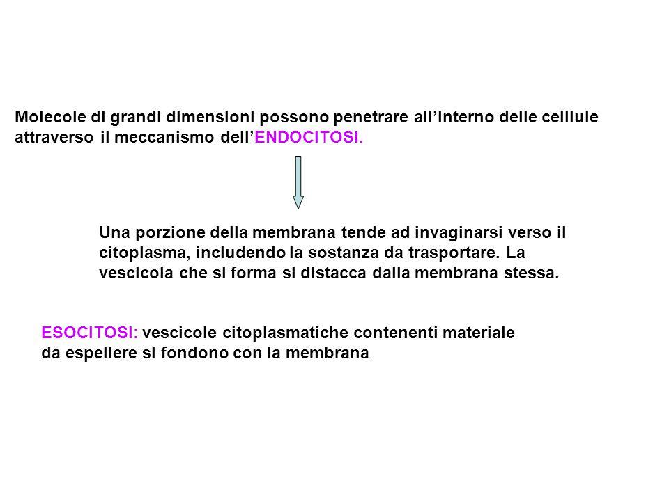 Molecole di grandi dimensioni possono penetrare all'interno delle celllule attraverso il meccanismo dell'ENDOCITOSI.