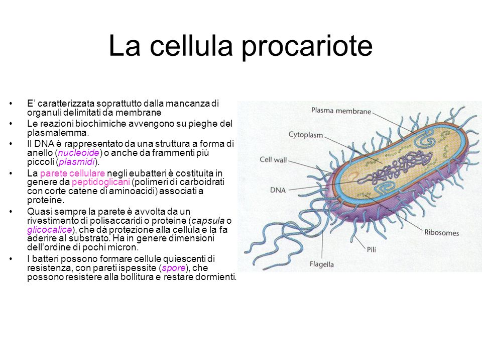 La cellula procariote E' caratterizzata soprattutto dalla mancanza di organuli delimitati da membrane.