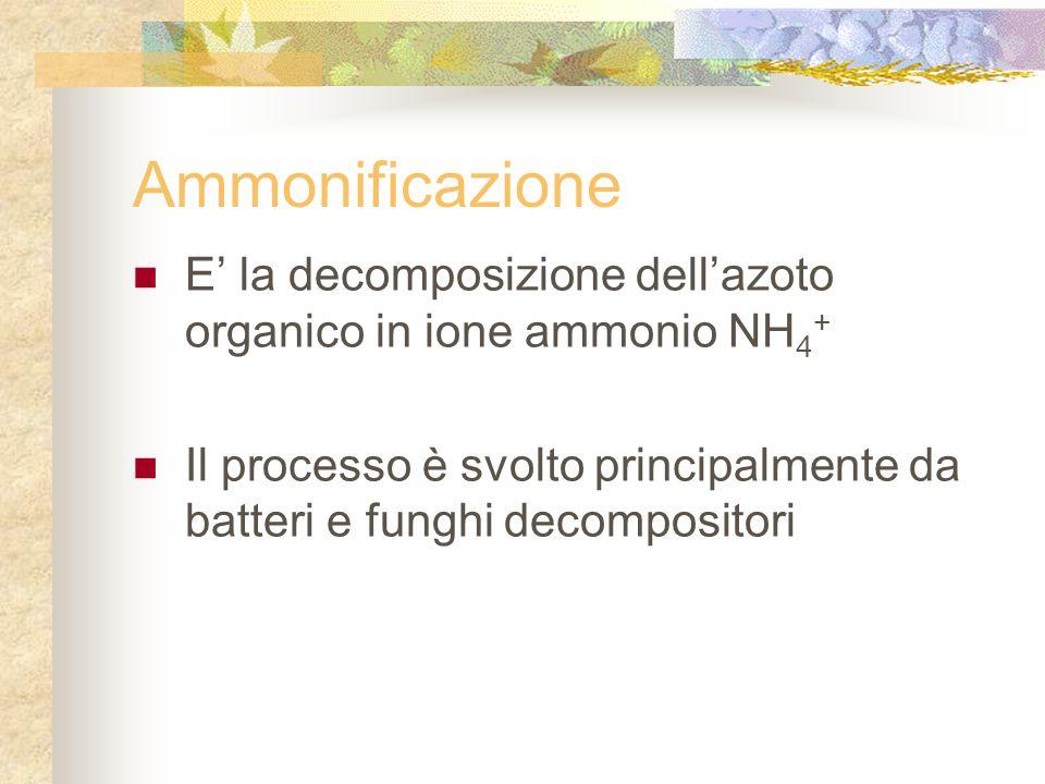 Ammonificazione E' la decomposizione dell'azoto organico in ione ammonio NH4+ Il processo è svolto principalmente da batteri e funghi decompositori.