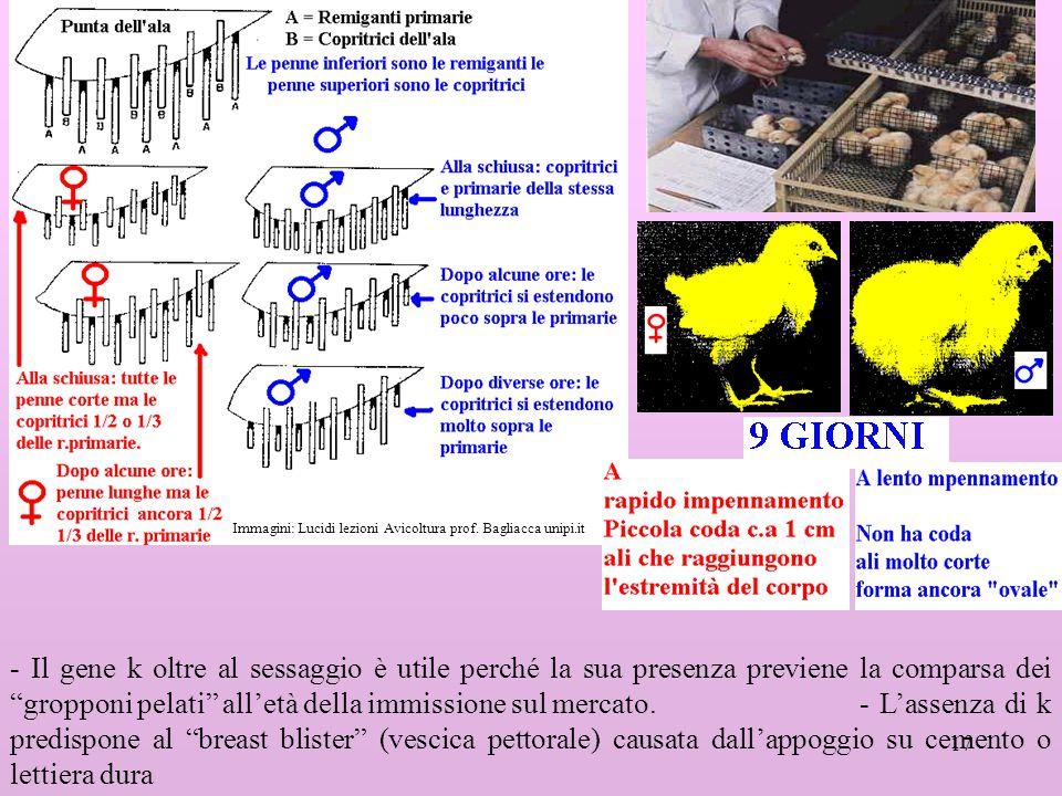 Immagini: Lucidi lezioni Avicoltura prof. Bagliacca unipi.it