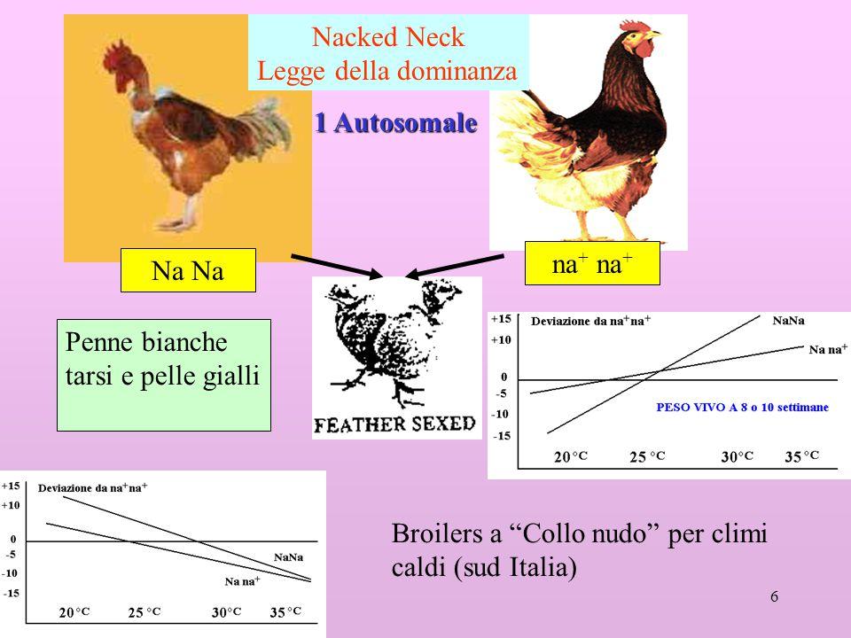 Nacked Neck Legge della dominanza. 1 Autosomale. na+ na+ Na Na. Penne bianche. tarsi e pelle gialli.