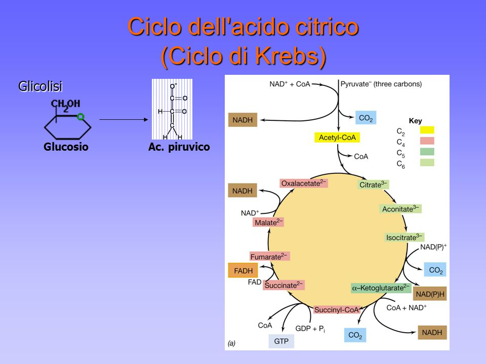 Ciclo dell acido citrico (Ciclo di Krebs)