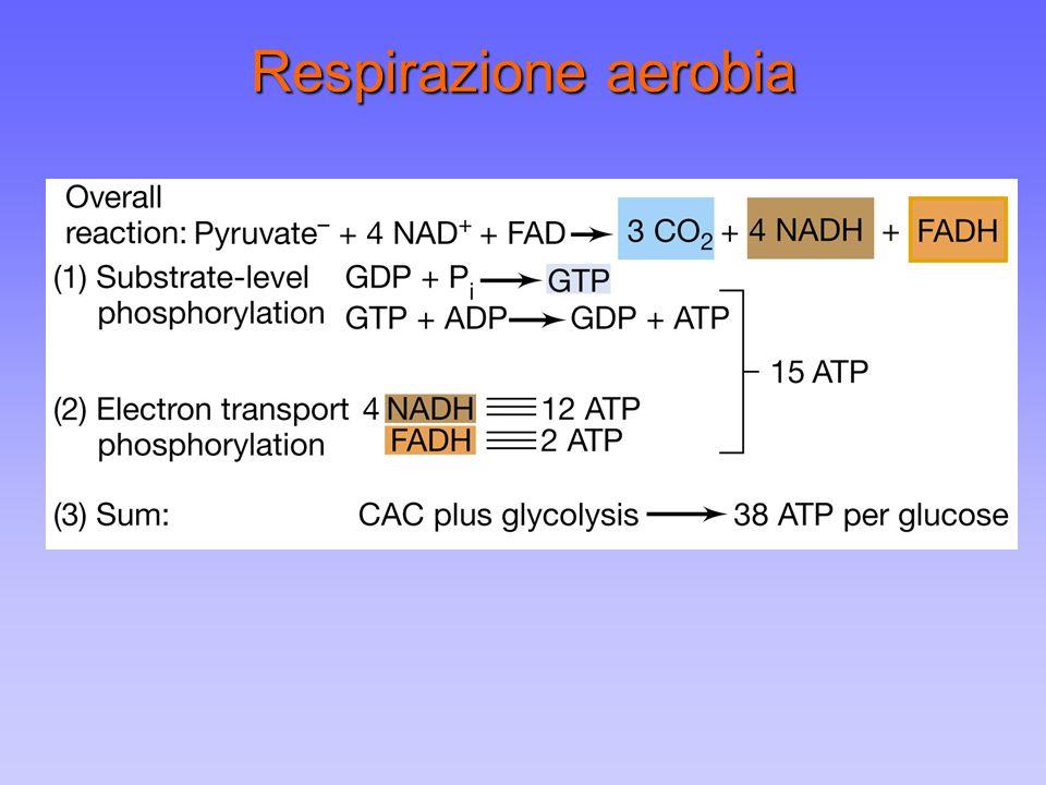 Respirazione aerobia