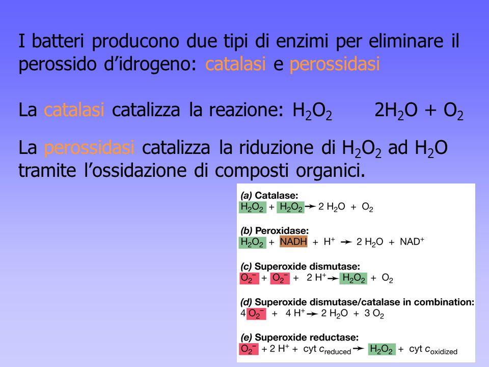 I batteri producono due tipi di enzimi per eliminare il perossido d'idrogeno: catalasi e perossidasi