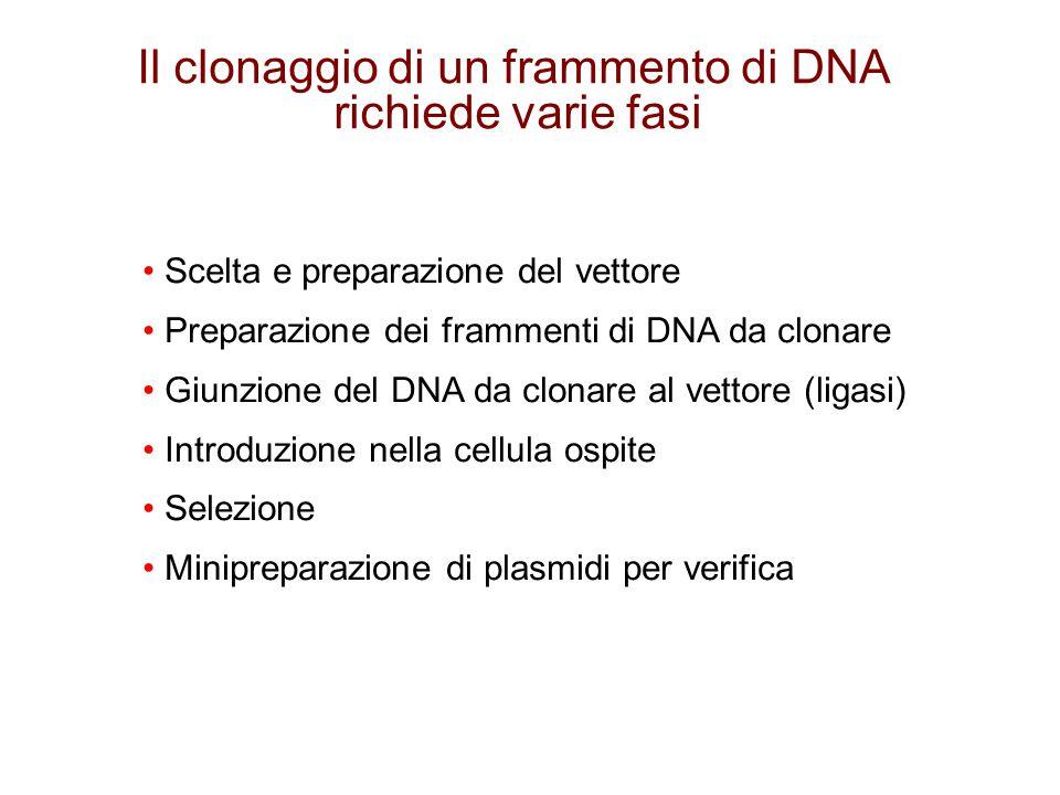 Il clonaggio di un frammento di DNA