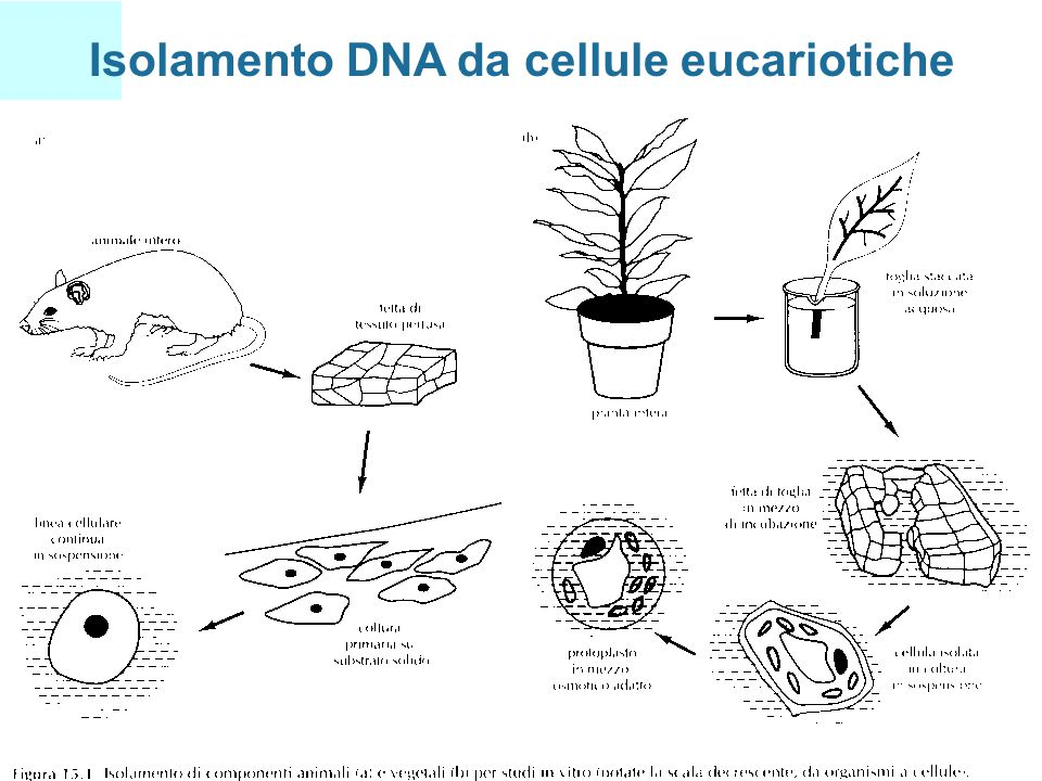 Isolamento DNA da cellule eucariotiche