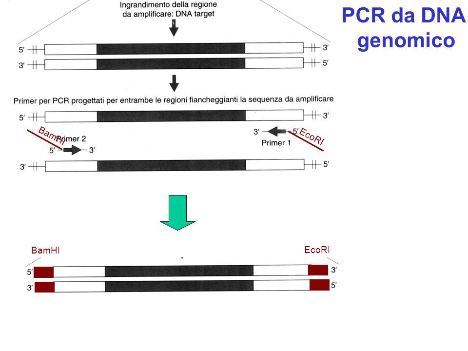 PCR da DNA genomico EcoRI BamHI BamHI EcoRI